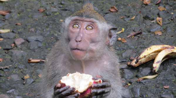 dragon fruit monkey